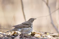 Song thrush on the ground. In the spring Stock Images