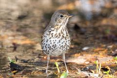 Song thrush on the ground. In the spring Stock Photography