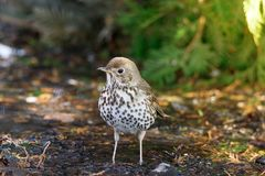 Song thrush on the ground. In the spring Stock Photo
