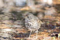 Song thrush on the ground. In the spring Royalty Free Stock Image