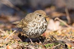 Song thrush on the ground. In the spring Royalty Free Stock Images