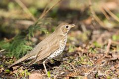 Song thrush on the ground. In the spring Stock Photos