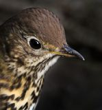 Song Thrush Head Close Up royalty free stock photos
