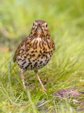 Song Thrush looking at camera with green grass background. Song Thrush (Turdus philomelos) foraging in backyard lawn and looking at camera with green grass royalty free stock photography