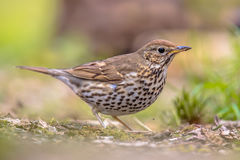 Song Thrush looking for food in a backyard. Song Thrush (Turdus philomelos) looking for food in a backyard of an urban garden in the Netherlands Stock Photo