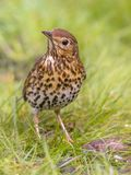Song Thrush looking with one eye with green grass background. Song Thrush (Turdus philomelos) foraging in backyard lawn and looking in camera with one eye from Royalty Free Stock Photography