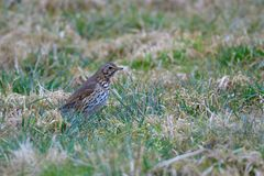 Song thrush. On a meadow looking for food Stock Photo