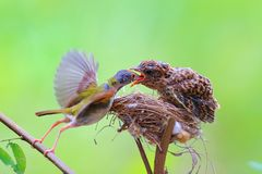 Female Cardinal feeds her baby chicks while standing on their bi stock photos