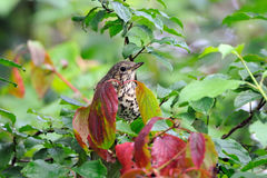 Song Thrush among multicolor leaves. Song Thrush (Turdus philomelos) among multicolor leaves. Moscow region, Russia Royalty Free Stock Image