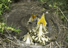 Song thrush nest with baby birds / Turdus philomelos Royalty Free Stock Photography