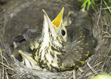 Song thrush nest with baby birds / Turdus philomelos Stock Image