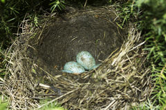 Song thrush nest with eggs / Turdus philomelos. Song thrush nest with eggs close-up / Turdus philomelos Stock Photo