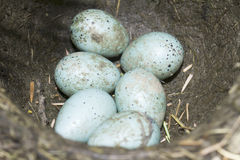 Song thrush nest with eggs / Turdus philomelos. Song thrush nest with eggs close-up / Turdus philomelos Stock Photography