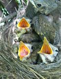 Song-thrush nestlings. Song-thrush nest with nestlings inside royalty free stock image