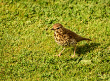 Song Thrush Stock Photography