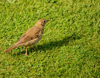 Song Thrush. This is a Song Thrush. The Song Thrush is a part of the Thrush family of birds and is on the RSPB red list in the UK due to huge declines in their Stock Photos