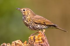 Song Thrush perched on log. Song Thrush (Turdus philomelos) perched on log with green garden background Stock Photography