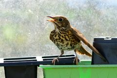 Song thrush. Perched on a plant pot in a greenhouse stock image