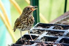 Song thrush Royalty Free Stock Image