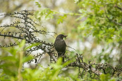 Song Thrush perched on tree branch Royalty Free Stock Photos