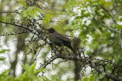 Song Thrush perched on tree branch Stock Images