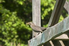 Song Thrush perched on wooden board. In rustic garden royalty free stock photos