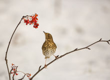 Song Thrush with Rowan berries. A Song Thrush (Turdus philomelos) tries to reach a bunch of Rowan berries Royalty Free Stock Image
