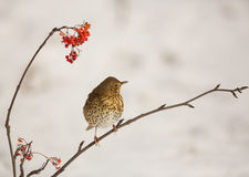 Song Thrush with Rowan berries. A Song Thrush (Turdus philomelos) tries to reach a bunch of Rowan berries Stock Images
