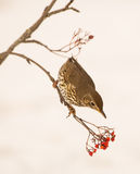 Song Thrush with Rowan berries. A Song Thrush (Turdus philomelos) tries to reach a bunch of Rowan berries Royalty Free Stock Photography