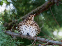 Song thrush ruffled up. A song thrush with ruffled up feathers Royalty Free Stock Photography