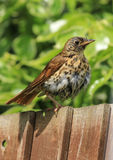 A song thrush sat on a garden fence. A song thrush sat on a wooden fence in english garden after just having a bath. wet feathers Royalty Free Stock Photography