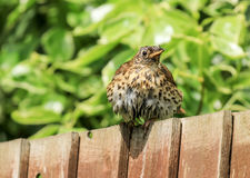 A song thrush sat on a garden fence. A song thrush sat on a wooden fence in english garden after just having a bath. wet feathers Stock Photos