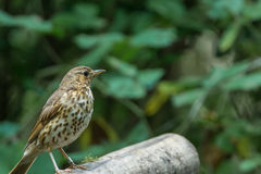 Song thrush. Is singing a song stock photo