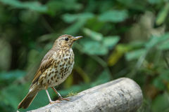 Song thrush. Is singing a song stock image