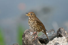Song thrush singing in Spring Royalty Free Stock Photos