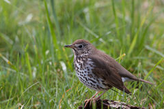 Song thrush. Sitting in the grass Stock Photo