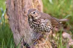 Song thrush. Sitting in the grass Royalty Free Stock Photo