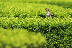 Song thrush. The song thrush sitting on the living fence Stock Photography