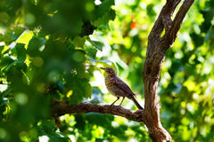 Song thrush sitting on wine branch. In vineyard Stock Photography