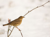 Song Thrush with snow Royalty Free Stock Photos