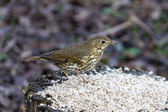 Song Thrush. Standing in grain on a tree stump Royalty Free Stock Photography