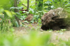 Song thrush. Standing on the ground royalty free stock images