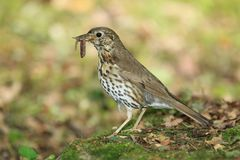Song thrush Stock Photos