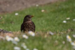 Song thrush stands on a lawn among daisies. Song thrush / Turdus philomelos stands on a green lawn among daisies. Shallow depth of field with smooth soft bokeh stock photography