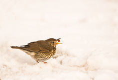 Song Thrush swallowing a berry. A hungry Song Thrush (Turdus philomelos) swallows a berry sitting in the snow stock images