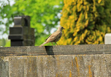 Song thrush on the tombstone Stock Photo