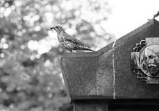 Song thrush on the tombstone Royalty Free Stock Photography