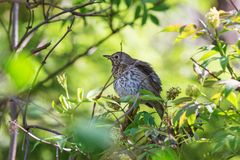 Song thrush on a tree branch. In spring Royalty Free Stock Image