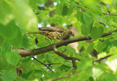 Song thrush on the tree. Song thrush Turdus philomelos with some insects in its beak sitting on the branch of a tree with green leaves Royalty Free Stock Photos