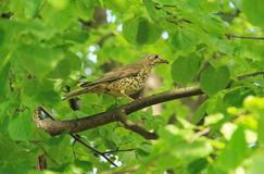 Song thrush on the tree. Song thrush Turdus philomelos with some insects in its beak sitting on the branch of a tree with green leaves Stock Photos